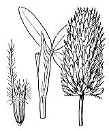 Photographie n°894 du taxon