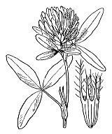 Photographie n°896 du taxon