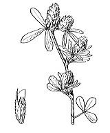 Photographie n°902 du taxon