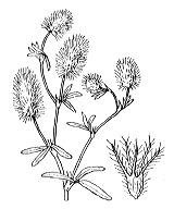 Photographie n°905 du taxon