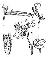 Photographie n°925 du taxon