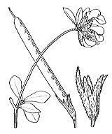 Photographie n°933 du taxon