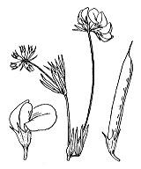 Photographie n°935 du taxon