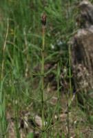 Photographie n°jlt001142 du taxon