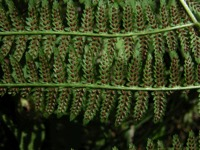 Photographie n°jlt003476 du taxon