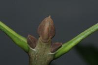 Photographie n°jlt008934 du taxon