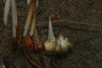 Photographie n°jlt010580 du taxon