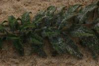 Photographie n°jlt011817 du taxon
