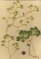 Photographie n°jlt012443 du taxon