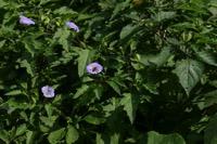 Photographie n°jlt012791 du taxon