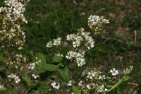 Photographie n°jlt017862 du taxon