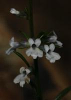 Photographie n°jlt019879 du taxon