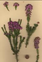 Photographie n°jlt022852 du taxon
