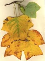 Photographie n°jlt026692 du taxon