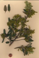 Photographie n°jlt040230 du taxon