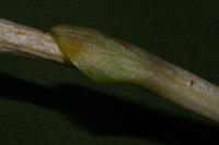 Photographie n°jlt043061 du taxon