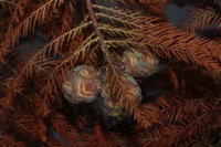 Photographie n°jlt067991 du taxon