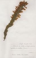 Photographie n°jlt068053 du taxon