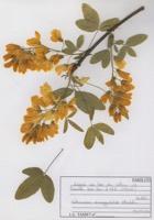 Photographie n°jlt072828 du taxon
