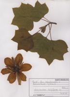 Photographie n°jlt073244 du taxon